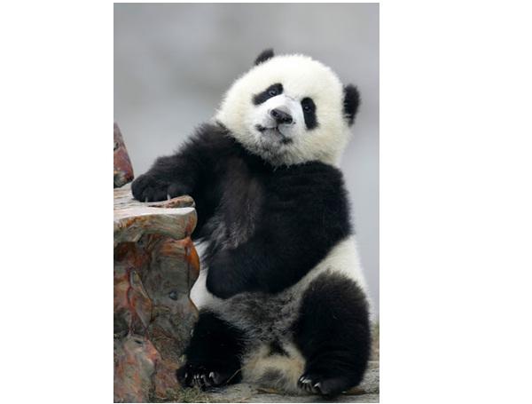 Standing Panda-Amazing Facts About Pandas