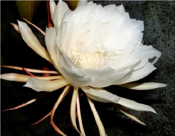 Kadupul Flower (Epiphyllum Oxypetalum)-Extremely Rare Flowers