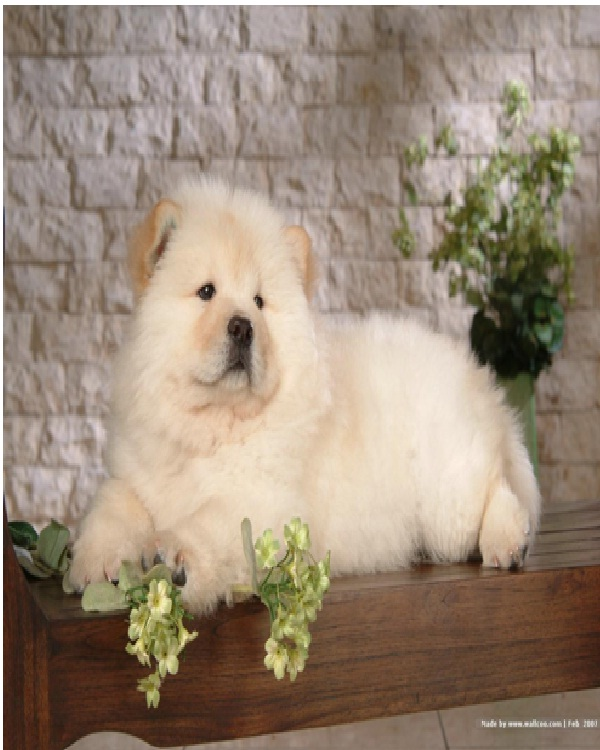 Chow Chow-Most Expensive Dogs In The World