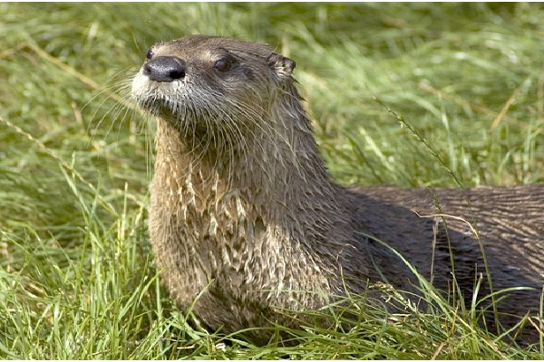 Otter - Extrovert, Intuitive, Feeling, Judging (ENFJ)-Know What Animal You Are Through Personality Test