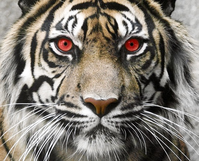 Tiger-Most Sacred Animals In The World