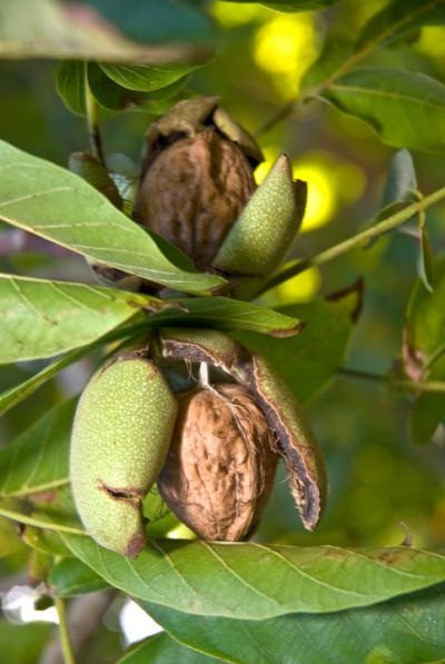 Walnuts-Some Favorite Fruits And Vegetables And How They Are Grown