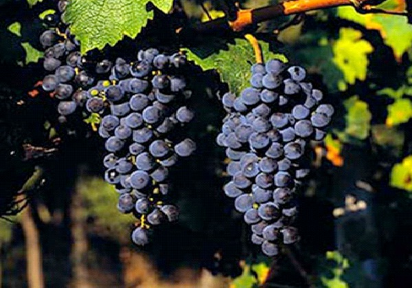 Cabernet Sauvignon-Best Types Of Red Wine