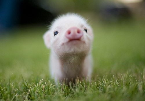 Pig-Adorable Baby Animals