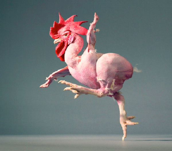 Featherless Chicken-Genetically Modified Animals You Can Buy