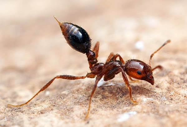 Fire Ants-Deadliest Insects