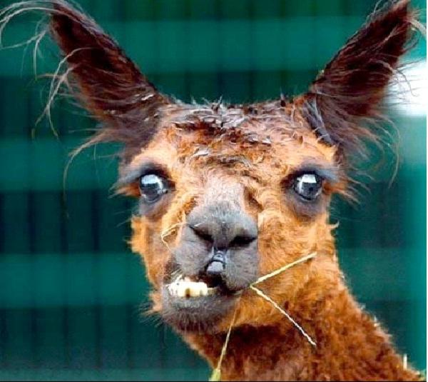 Bad Hair Day-Funny Animal Fails
