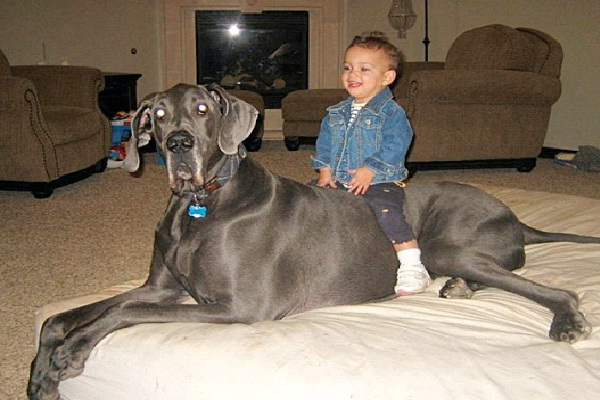 Giant George The Great Dane World S Biggest Pets