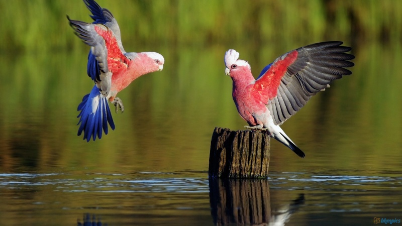 Galah, the Australian Cockatoo-15 Super Cool Animals That You May Find Only In Australia