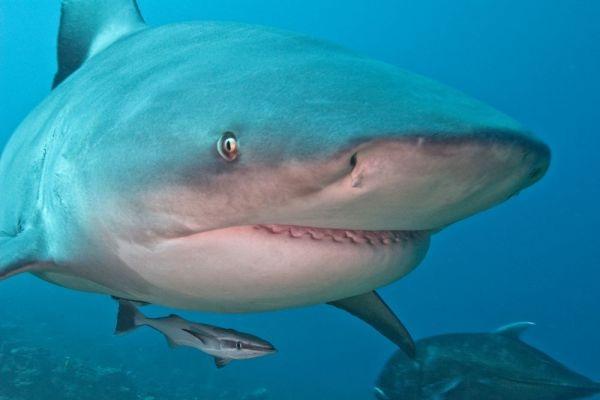 Bull shark-Most Dangerous Ocean Animals
