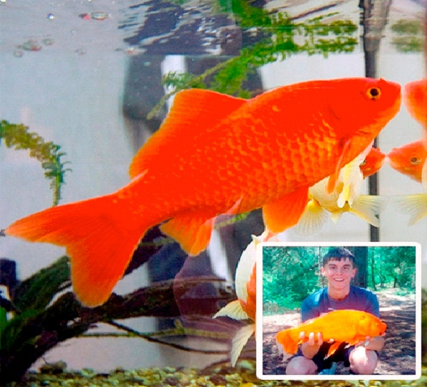 Goldie The Goldfish-World's Biggest Pets