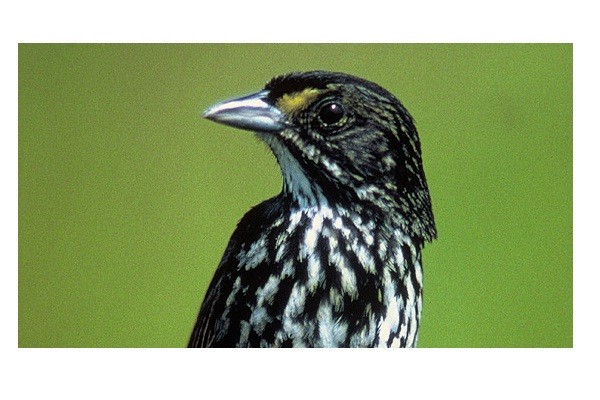 Dusky Seaside Sparrow-Extinct Animals That Science Could Bring Back From The Dead