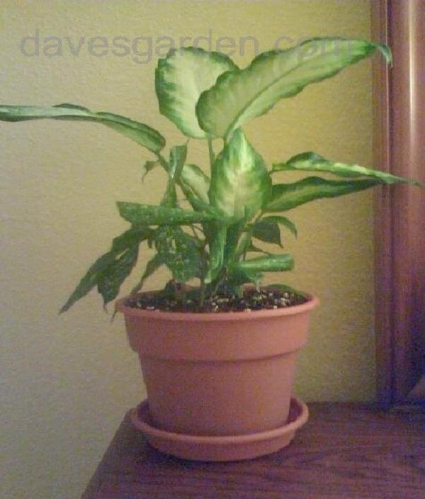 Dumb Cane-Common But Deadly Plants