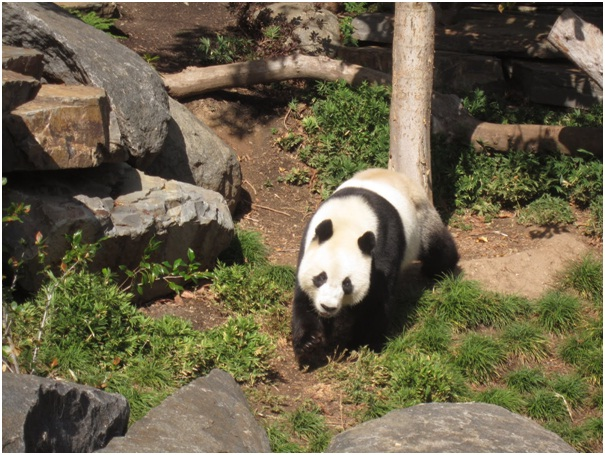 Running Panda-Amazing Facts About Pandas