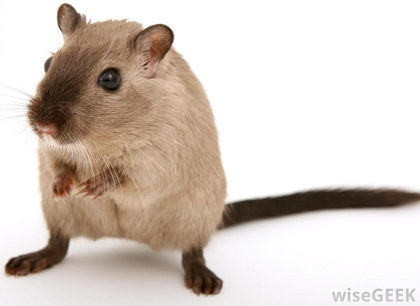 Gerbil-Best Animals For Pets