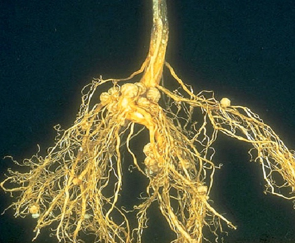 a study of the effect on rhizobium bacteria by changing its ph The influencing effects of ph in the rhizosphere are a study by small et al found the rhizosphere the small nodules are formed by rhizobia bacteria.