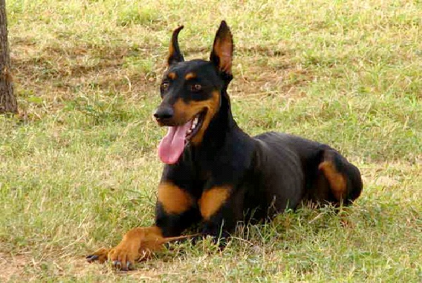 Doberman Pinschers-Most Aggressive Dog Breeds
