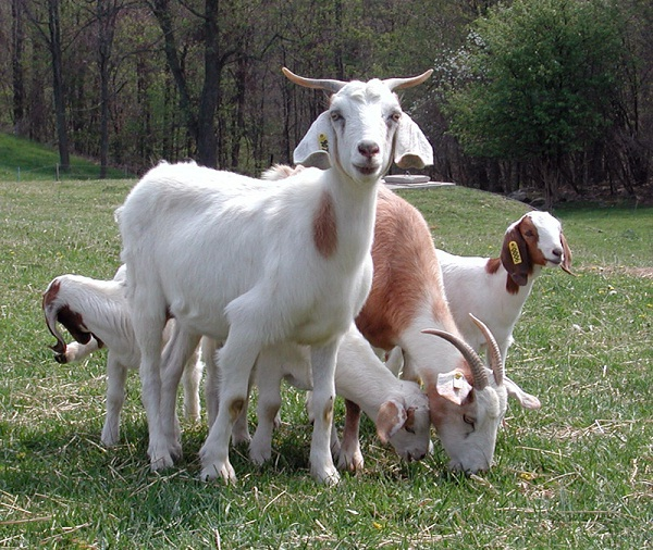 Goats-Things You Don't Know About Google