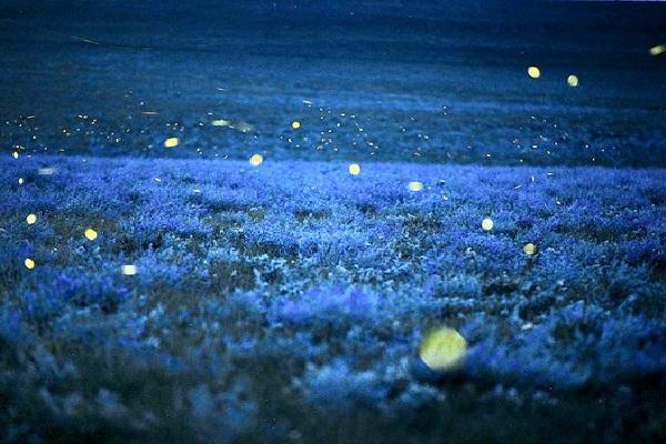 Fireflies-Amazing Bioluminescent Organisms