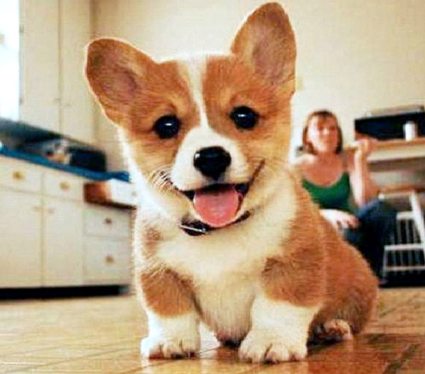 Hypoallergenic Dogs-Genetically Modified Animals You Can Buy