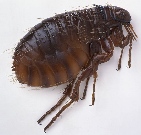 Fleas-Deadliest Insects