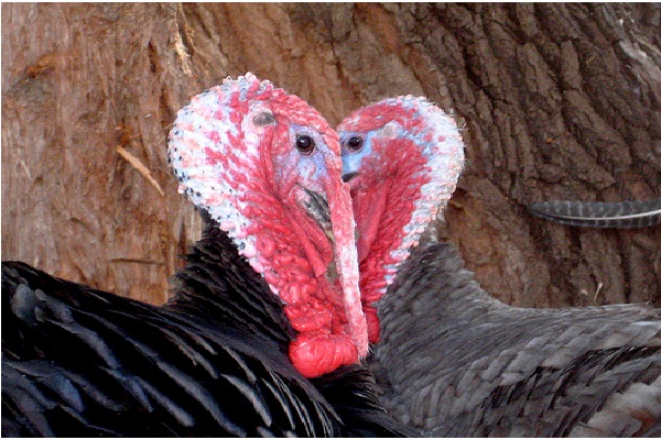 Male Turkey's Object Of Love-Freaky Scientific Discoveries