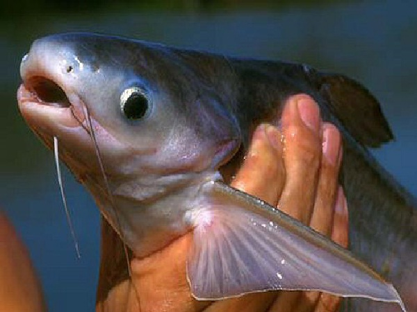 Pangasius-Most Consumed Sea Foods