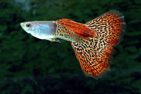Guppy-Most Beautiful Fishes