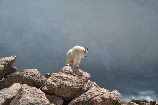 So, erm how do I get down?-Photos Of Goats On Cliffs