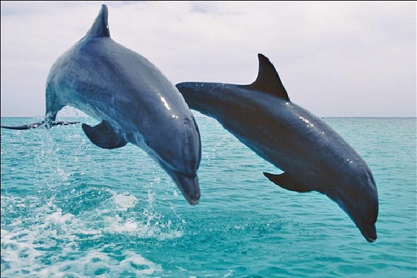 Dolphin - Entrovert, Intuitive, Feeling, Perceiving (ENFP)-Know What Animal You Are Through Personality Test