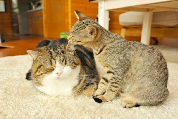 Maru And Hana-Famous Internet Cats