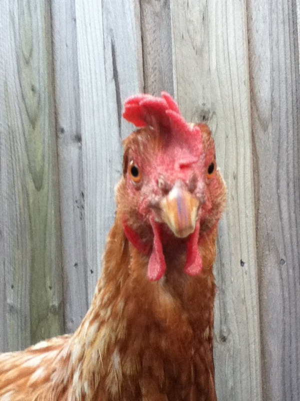 Chickens prefer beautiful humans-Most Bizarre Scientific Papers