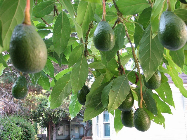 Avocado-Some Favorite Fruits And Vegetables And How They Are Grown