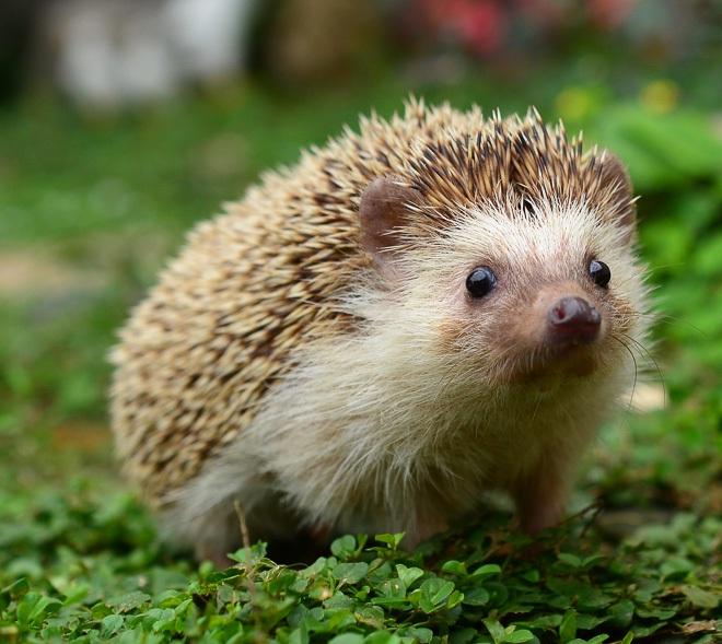 Hedgehog-Adorable Baby Animals