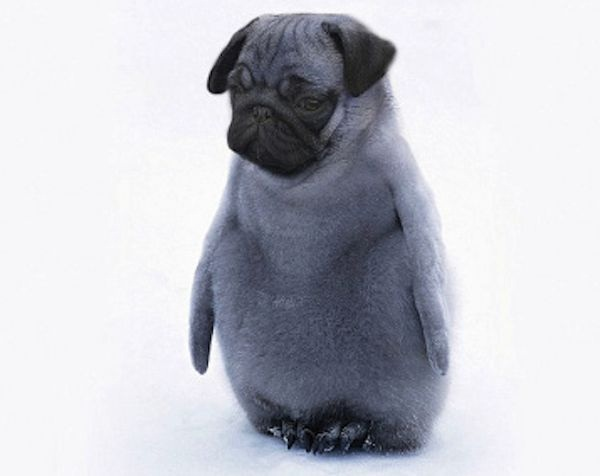 A penguin pug-Dirds Are So Cool