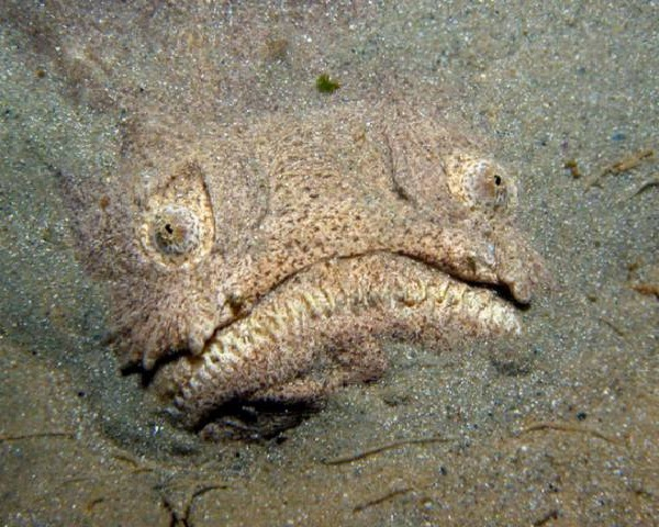 Stargazer-Horrible Deep Sea Creatures