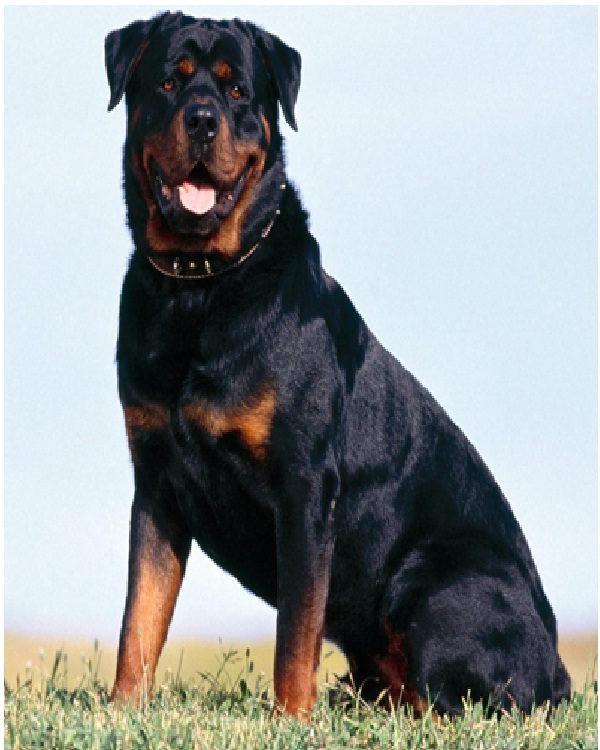 Rottweiler-Most Expensive Dogs In The World