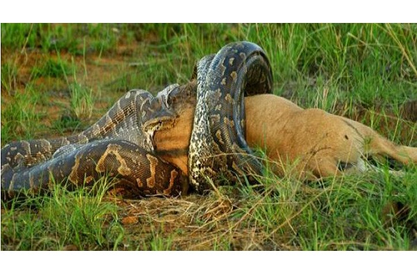 Python Eyes Bigger Than His Belly-Shocking Moments Caught On Camera