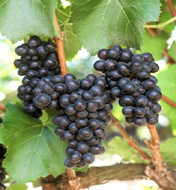 Pinot Noir-Best Types Of Red Wine