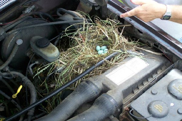 In A Car Engine-Most Unusual Places For A Bird's Nest