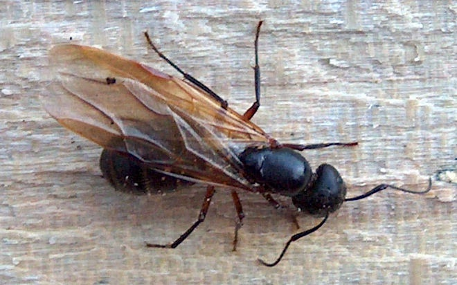 Power Ant Fly : Flying animals which are not birds