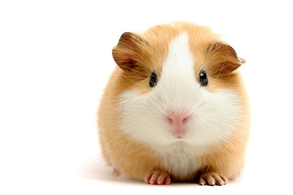 Guinea Pig-Best Animals For Pets