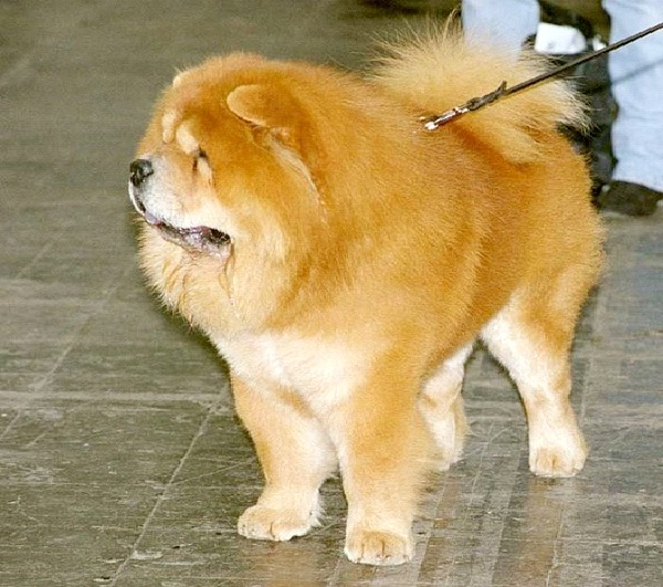 Chow Chow-Most Aggressive Dog Breeds
