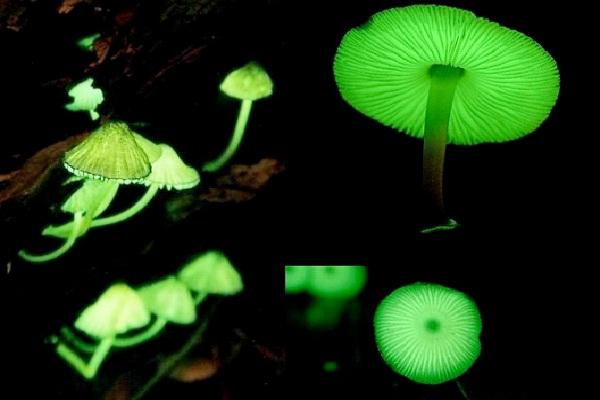Glowing Mushrooms-Amazing Bioluminescent Organisms