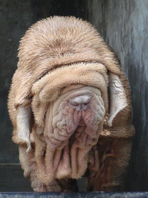Big long wrinkles-Cool Wrinkly Dogs