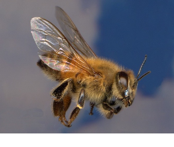 Africanized honey bee-Deadliest Insects