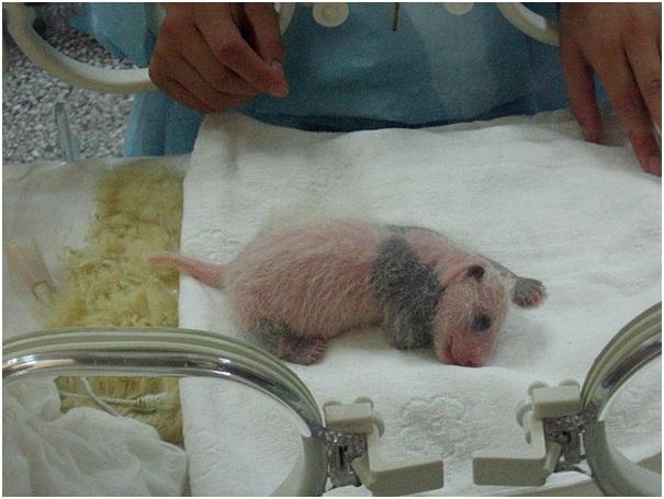 Giant Panda Cub Newborn-Amazing Facts About Pandas