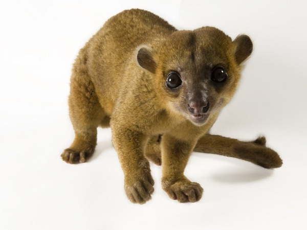 Kinkajou-Unusual Pets That Are Legal To Own