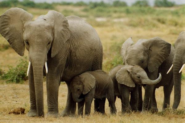 Elephants-Weird Facts About Animals