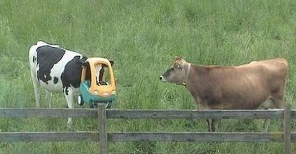 A cow in a kids car-Funny Animals Stuck In Objects